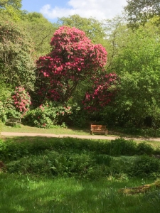 Rhododendrons in Bryngarw Country Park