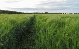 Barley field near Lodge House
