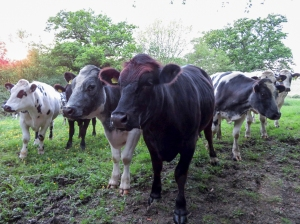 Inquisitive bullocks at Whitelands