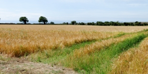 Barley fields at Rhoose