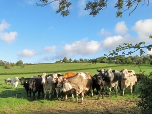 Feisty cows at Brynhill