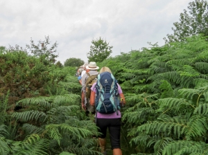 Head high ferns below Bryn Arw