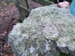 Crinoids in Park Wood