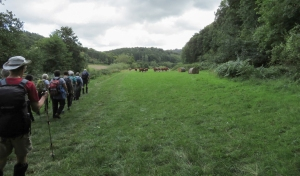 Banks of Wye and Hereford cattle