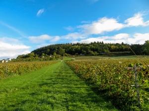 Uphill through the vineyard