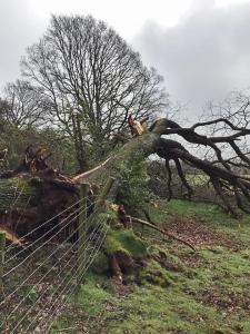 The fallen oak